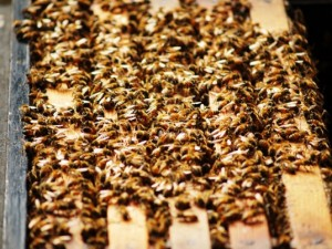 la-50000-bees-in-home-537x402